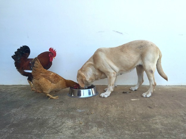 Chicken and Dog